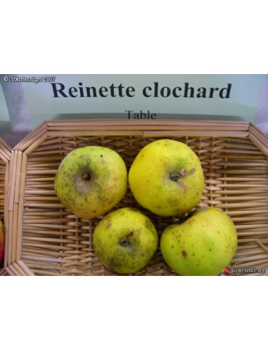 Pommier - Reinette Clocharde