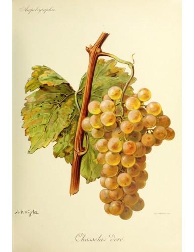 Vigne - Chasselas Doré