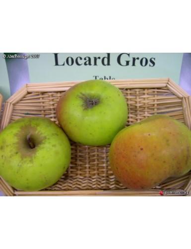 Pommier - Gros locard