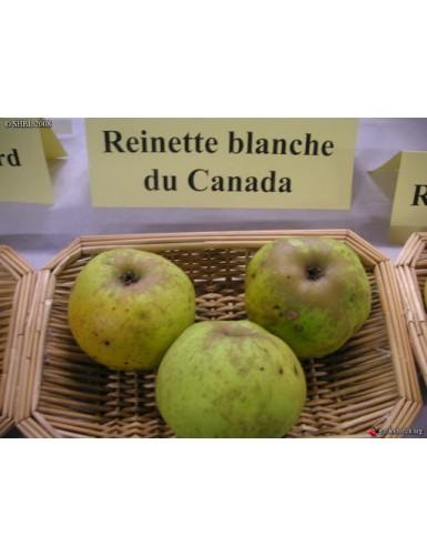 Pommier - Reinette Canada...