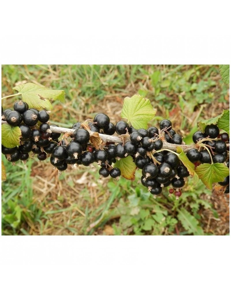 Fruits Cassis Blackdown